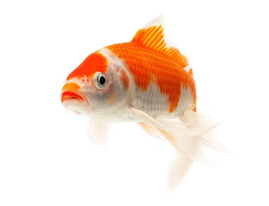 عکس ماهی قرمز سفید